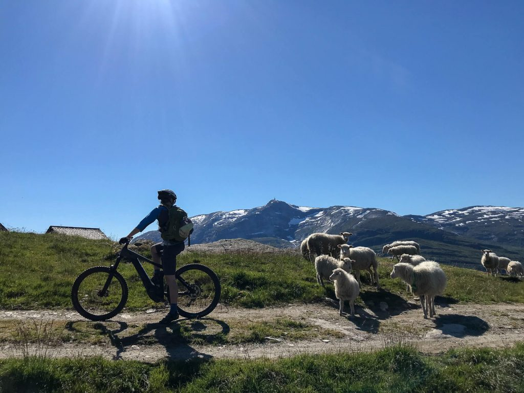meeting sheeps on the mtb trails in norway